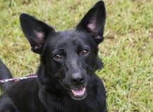 Cane nero della miscela del pastore tedesco con le grandi orecchie immagine stock
