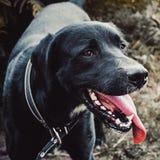 Cane nero della razza un Labrador con il langua fuori rapido della lingua Fotografia Stock Libera da Diritti