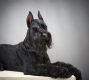 Cane nero dello schnauzer gigante Fotografie Stock