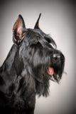 Cane nero dello schnauzer gigante Fotografia Stock Libera da Diritti
