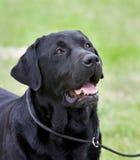 Cane nero di esposizione del Labrador fotografia stock libera da diritti