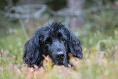 Cane nero di Hiden fotografie stock libere da diritti