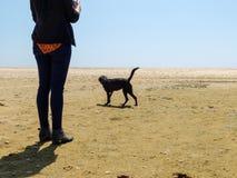 Cane nero di Labrador che cammina sulla spiaggia con una donna Immagine Stock Libera da Diritti