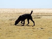 Cane nero di Labrador che fiuta la sabbia sulla spiaggia Fotografia Stock