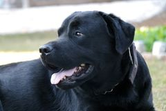 Cane nero di labrador che guarda qualcuno immagine stock