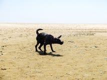 Cane nero di Labrador che stringe le sue mani sulla spiaggia Fotografia Stock Libera da Diritti
