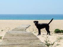 Cane nero di Labrador da solo sulla spiaggia che affronta la macchina fotografica Fotografie Stock