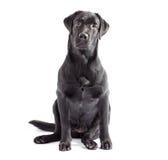 Cane nero di labrador isolato su bianco Immagine Stock Libera da Diritti
