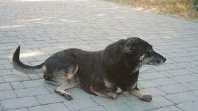 Cane nero disabile al riparo animale stock footage