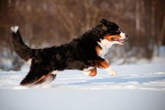Cane nero divertente che salta nella neve Fotografie Stock Libere da Diritti