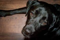 Cane nero labrador retriever che si trova sul pavimento fotografia stock libera da diritti
