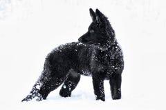 Cane nero nella neve Fotografie Stock