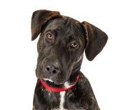 Cane nero sveglio dell'incrocio di Labrador del primo piano Fotografie Stock