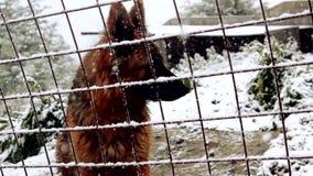 Cane in neve dietro un recinto archivi video