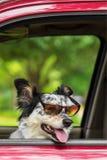 Cane in occhiali da sole d'uso dell'automobile Fotografia Stock