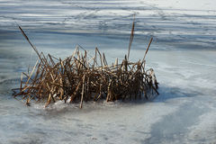 Cane over frozen lakes Stock Images