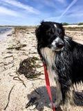 Cane pastore bagnato di border collie sul guinzaglio rosso alla spiaggia Immagini Stock