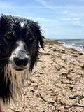 Cane pastore bagnato di border collie sulla spiaggia dell'oceano Fotografia Stock