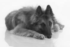 Cane, pastore belga Tervuren, in bianco e nero, isolato sullo shi Fotografia Stock