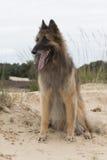 Cane, pastore belga Tervuren, guardante fuori sopra le dune Fotografia Stock Libera da Diritti