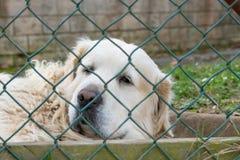 Cane pastore bianco dell'Maremmo-Abruzzo dietro la maglia del recinto fotografie stock