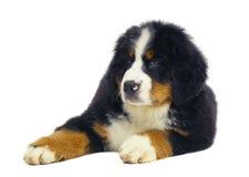 Cane pastore del cucciolo. Immagine Stock Libera da Diritti