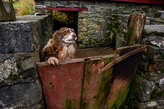 Cane pastore di Lingua gallese al portone del suo fabbricato annesso Immagine Stock