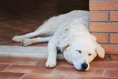 Cane pastore di Maremma che dorme su un pavimento di terracotta immagine stock