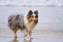 Cane pastore di Shetland fotografia stock libera da diritti