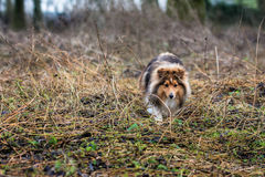 Cane pastore di Shetland immagine stock libera da diritti