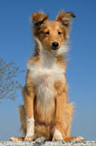 Cane pastore di Shetland del cucciolo Immagini Stock