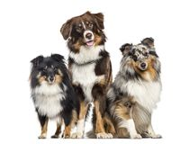 Cane pastore di Shetland e pastore australiano, cani in una fila, bianca Fotografia Stock