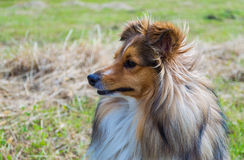 Cane pastore di Shetland (Sheltie) fotografia stock