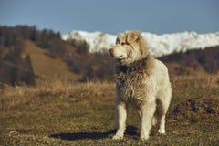 Cane pastore simile a pelliccia bianco attento fotografie stock