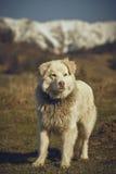 Cane pastore simile a pelliccia bianco vigile fotografie stock libere da diritti