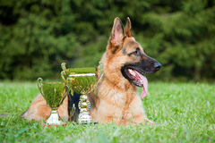 Cane pastore tedesco fotografie stock libere da diritti
