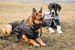 Cane pastore tedesco nero immagine stock immagine 29817951 for Pinscher nero