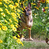 Cane, pastore tedesco in fiori immagine stock libera da diritti