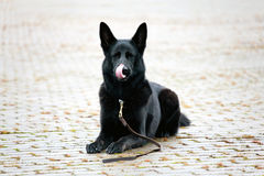 Cane pastore tedesco nero che lecca il suo muzze fotografia stock