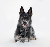 Cane pastore tedesco in neve fotografie stock libere da diritti