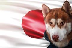 Cane patriottico fiero davanti alla bandiera del Giappone Husky siberiano del ritratto in maglietta felpata nei raggi del sole lu immagini stock