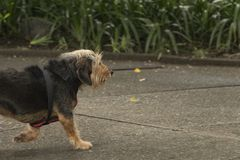 Cane peloso nero che cammina da solo immagine stock libera da diritti