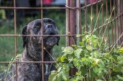 Cane pericoloso spaventoso dietro un portone fotografie stock libere da diritti
