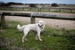 Cane piacevole bianco Immagine Stock