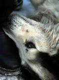 Cane pirenaico che gioca con la scarpa dell'uomo immagini stock libere da diritti