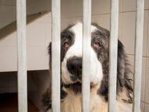 Cane pirenaico del mastino II immagini stock libere da diritti