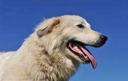 Cane pirenaico della montagna Fotografie Stock Libere da Diritti