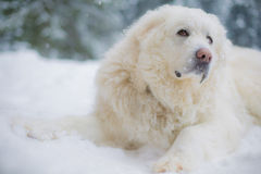 Cane pirenaico della montagna su neve Fotografie Stock Libere da Diritti