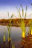 Cane plants. Near lake shore stock image