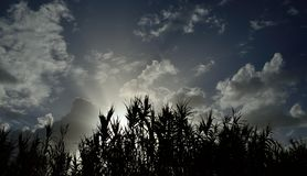 Cane plants at sunrise. Bright sunrise, scattered clouds, blue sky and backlit cane plants royalty free stock images